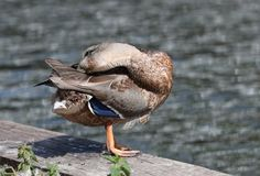 Close up of a female Mallard Duck. Preening on a canal towpath with blurred background Stock Image