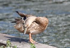Close up of a female Mallard Duck. Preening on a canal towpath with blurred background Stock Photos
