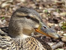 Female Mallard Duck head. Close-up female mallart duck head Stock Photo
