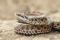 Close up of female meadow viper Royalty Free Stock Images
