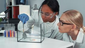 Close-up of female mixed race scientists making experiment with hamster by dropping it a doze of special liquid stock video