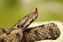 Close-up of female nosed viper Royalty Free Stock Photos