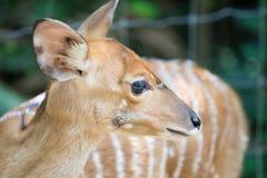 Close up of female nyala head Royalty Free Stock Photos