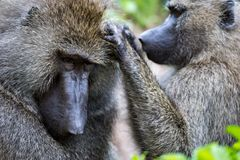 Close-up of female olive baboon grooming mate Stock Photos