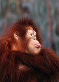 Close Up of a Female Orangutan Stock Photography