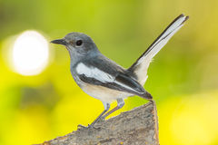 Close up of female Oriental Magpie Robin Stock Image