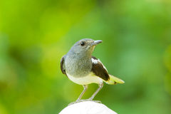 Close up of female Oriental Magpie Robin Stock Photo