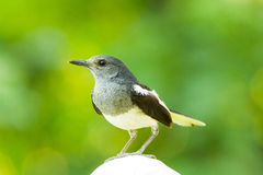 Close up of female Oriental Magpie Robin Stock Images