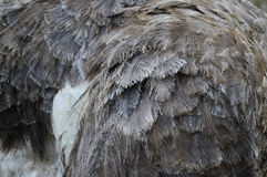 Close Up of Female Ostrich Feathers/Plumage Royalty Free Stock Photography