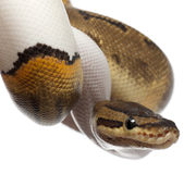 Close-up of Female Pinstripe Pied Royal python Stock Photo