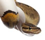 Close-up of Female Pinstripe Pied Royal python Stock Photo