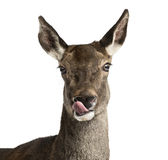 Close-up of a female red deer Stock Images