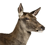 Close-up of a female red deer Royalty Free Stock Photography