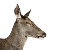 Close-up of a female red deer Royalty Free Stock Photo