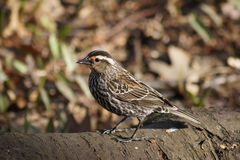 Close up of Female Red Winged Blackbird Stock Images
