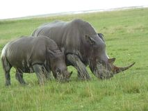 A close up of a female rhino / rhinoceros and her calf royalty free stock photos