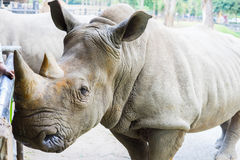 A close up of a female rhino / rhinoceros and her calf. Showing Stock Photography