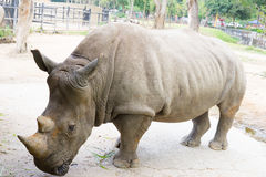 A close up of a female rhino / rhinoceros and her calf. Showing Stock Image