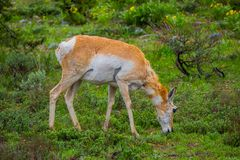 Close up of a female rocky mountain mule deer, Odocoileus hemionus eating grass in Yellowstone National Park in Wyoming. Close up of a female Rocky Mountain Mule Royalty Free Stock Photo