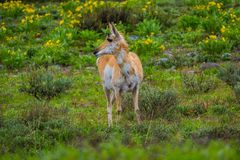 Close up of a female rocky mountain mule deer, Odocoileus hemionus walking in a grassland in Yellowstone National Park. In Wyoming, USA stock images