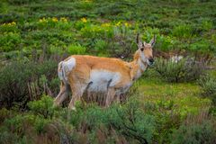 Close up of a female rocky mountain mule deer, Odocoileus hemionus walking in a grassland in Yellowstone National Park. In Wyoming, USA stock photo