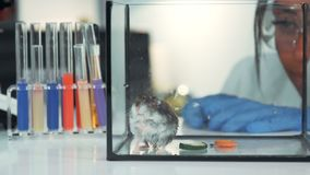 Close-up of female scientist observing hamster`s behavior during the experiment in modern lab stock video
