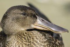 Close up of female Shoveler (shoveller) duck Stock Photography