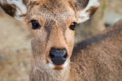Sika Deer. Close up of a female Sika Deer at Nara Park in Japan Stock Photography