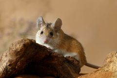 Close-up female spiny mouse with big eyes аnd ears  lies on a snag and looks at camera. Close-up female spiny mouse with big eyes аnd ears Acomys royalty free stock images