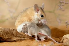 Close-up female spiny mouse eats insect and breastfeed the offspring. Close-up female spiny mouse Acomys cahirinus eats insect and breastfeed the offspring royalty free stock images