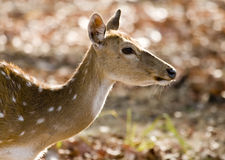 Close up of a Female spotted Deer. Shot in an Indian National Park Royalty Free Stock Images