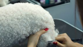 Closeup of female veterinarian combing a white fluffy dog in a veterinary clinic stock video