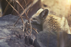 Close up on Fennec Fox (Vulpes zerda) Royalty Free Stock Images