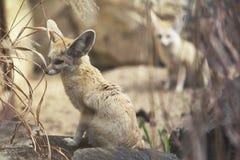 Close up on Fennec Fox (Vulpes zerda) Stock Photo
