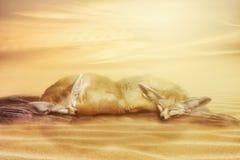 Close up on Fennec vulpes zerda on sand Stock Photos