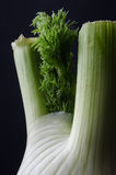 Close Up of Fennel Bulb on Black Background Stock Images