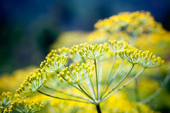 Close up fennel in garden at Doi angkhang mountain chiang mai th Stock Image