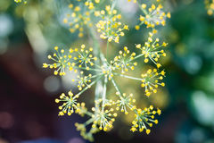 Close up fennel in garden at Doi angkhang mountain chiang mai th Royalty Free Stock Photo