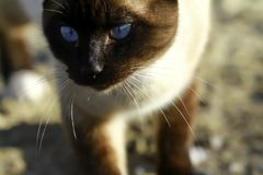 Feral Siamese Cat. Close up of Feral Siamese Cat Royalty Free Stock Images