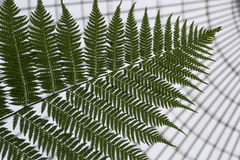 Close up of fern royalty free stock images