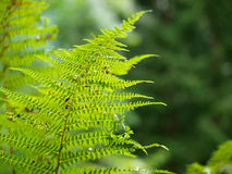 Close up fern in a green forest Stock Image