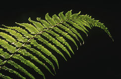 Close-up of fern leaf on black background Royalty Free Stock Photography