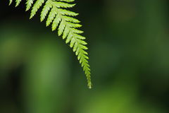 Close up of fern leaf tip Royalty Free Stock Photos