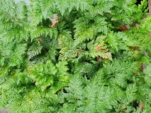 Close up of fern leaves as a background. royalty free stock photo