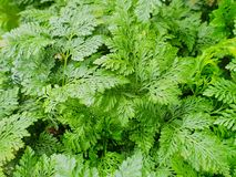 Close up of fern leaves as a background. stock image
