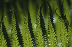 Close-up of fern leaves focus on foreground Stock Photography