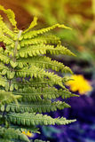 Close up of Fern leaves Royalty Free Stock Photo