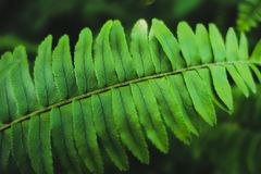 Close-up Fern species green leaf royalty free stock photo