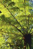 Close up of the fern tree. Waitakere ranges Stock Photography