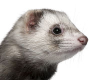 Close-up of Ferret, 1 year old Stock Image